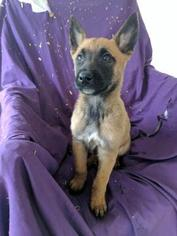 Belgian Malinois Puppy For Sale in LOVELAND, OH