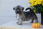 Shinese Puppy For Sale in FREDERICKSBURG, OH, USA