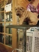 Dogue de Bordeaux Puppy For Sale in LANSING, MI