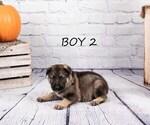 Small #6 German Shepherd Dog-Wolf Hybrid Mix