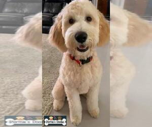 Goldendoodle-Unknown Mix Puppy for sale in ROCKLEDGE, FL, USA
