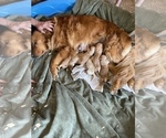 Small Photo #4 Golden Retriever Puppy For Sale in ROGERSVILLE, MO, USA