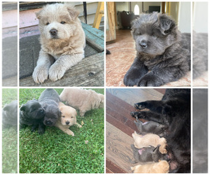 Chow Chow Puppy for sale in ELGIN, IL, USA