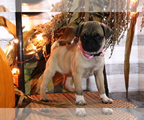 Medium Photo #3 Pug Puppy For Sale in SHILOH, OH, USA