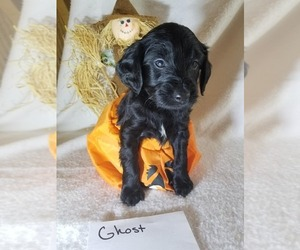 Goldendoodle Puppy for sale in CRAWFORDSVILLE, IA, USA