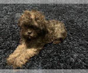 Shih Tzu Puppy for sale in BLYTHEWOOD, SC, USA