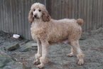 Small Photo #1 Goldendoodle Puppy For Sale in FRESNO, OH, USA
