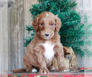 Irish Troodle Puppy for sale in HONEY BROOK, PA, USA