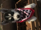 Siberian Husky Puppy For Sale in FAIRFIELD, IL, USA