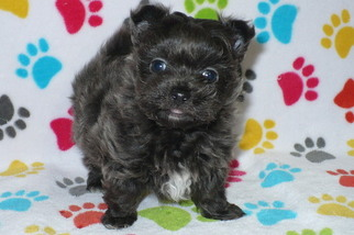 Yoranian Puppy for sale in ORO VALLEY, AZ, USA