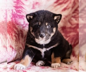 Shiba Inu Puppy for sale in MYERSTOWN, PA, USA