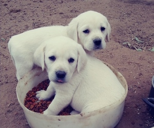 Labrador Retriever Puppy for sale in FORT LUPTON, CO, USA