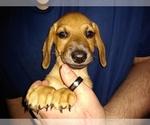 Puppy 3 Chiweenie