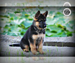 German Shepherd Dog Puppy for Sale in LISBON, Ohio USA