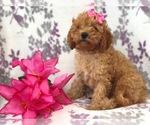 Small #10 Cavapoo-Poodle (Miniature) Mix