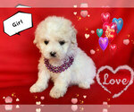 Small Photo #6 Maltese-Maltipoo Mix Puppy For Sale in SAN FRANCISCO, CA, USA