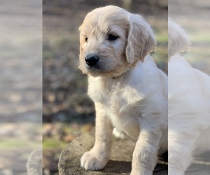 Goldendoodle Puppy for Sale in MORGANTOWN, Indiana USA