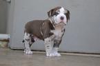 Alapaha Blue Blood Bulldog Puppy For Sale in SANTA CLARA, CA, USA