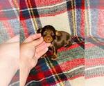 Small #2 Dachshund