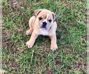 Olde English Bulldogge Puppy for Sale in WALTERBORO, South Carolina USA