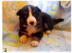 Border Collie Puppy For Sale in ORACLE, AZ, USA