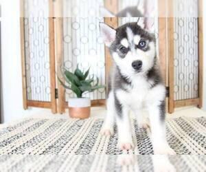 Siberian Husky Dog for Adoption in NAPLES, Florida USA