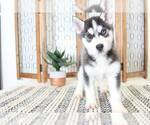 Dash Affectionate AKC Male Husky Puppy