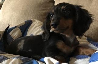 Dachshund Puppy For Sale in POTH, TX