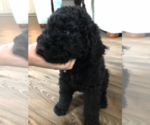 Labradoodle-Poodle (Standard) Mix Puppy For Sale in MULDROW, OK, USA