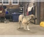 Small #7 Great Dane-Labrador Retriever Mix