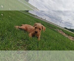 Schnoodle (Miniature) Puppy for sale in CLARE, IL, USA