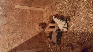 Bloodhound Puppy For Sale in DECATUR, IL
