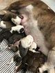 Bulldog Puppy For Sale in BANNING, CA, USA