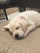 Labrador Retriever Puppy For Sale in EATON, CO