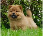 Small #1 Chow Chow