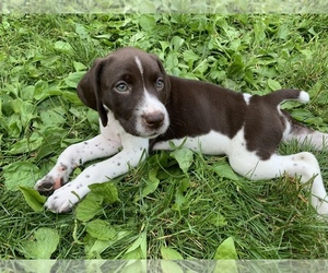 German Shorthaired Pointer Puppy for sale in TIVERTON, RI, USA