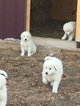 Registered Maremma puppies for sale