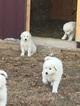 Maremma Sheepdog Puppy For Sale in BEGGS, OK