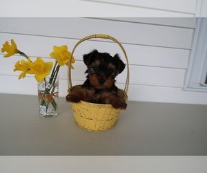 Yorkshire Terrier Puppy for sale in TERRE HAUTE, IN, USA