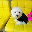Maltese Puppy For Sale in ALEXANDRIA, VA, USA