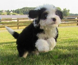 Miniature Bernedoodle Puppy for Sale in FREDERICKSBURG, Ohio USA
