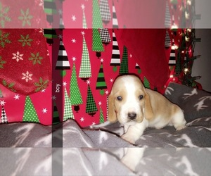 Basset Hound Puppy for Sale in UNION, Kentucky USA