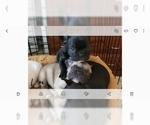 Small Photo #6 French Bulldog Puppy For Sale in CAPE CORAL, FL, USA