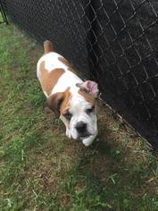 Beabull Puppy For Sale in WESTBOROUGH, MA