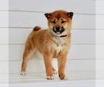Puppy 2 Aussiedoodle-Goldendoodle Mix