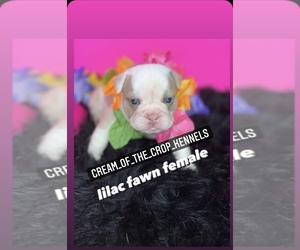 Bulldog Puppy for sale in VALLEJO, CA, USA