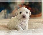 Puppy 3 Shih-Poo-Zuchon Mix