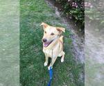 Small #16 Golden Labrador