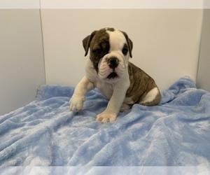 English Bulldog-Olde English Bulldogge Mix Puppy for sale in PEEL, AR, USA
