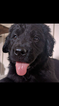 Newfoundland Puppy For Sale in LANCASTER, OH, USA